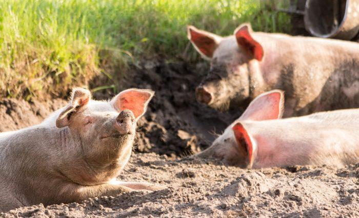 Peste porcina2